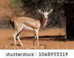 Male Arabian Sand Gazelle ...