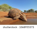 Stock photo close up of a leopard tortoise stigmochelys pardalis drinking water south africa 1068955373