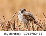 male house sparrow or passer... | Shutterstock . vector #1068983483