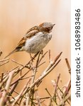 male house sparrow or passer... | Shutterstock . vector #1068983486