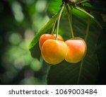 Close Up Rainier Cherries...