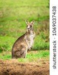 Small photo of The Cocky Kangaroo