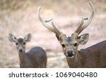 male and female hog deer  ...   Shutterstock . vector #1069040480