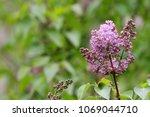 lilac. lilacs  syringa or... | Shutterstock . vector #1069044710