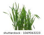 green young wheat isolated on... | Shutterstock . vector #1069063223