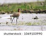 a bar tailed godwit  limosa... | Shutterstock . vector #1069103990