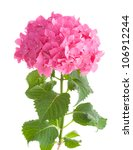 Bright Pink Hydrangea Isolated...