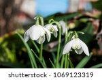 double snowdrop  galanthus... | Shutterstock . vector #1069123319