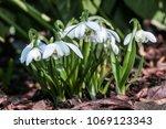 double snowdrop  galanthus... | Shutterstock . vector #1069123343