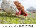 chickens in the yard graze ...   Shutterstock . vector #1069139804