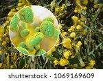 mimosa pollen  close up view ...   Shutterstock . vector #1069169609