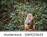 cute monkey with mother monkey... | Shutterstock . vector #1069223624