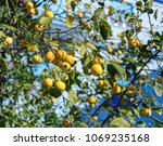 ripe lemon tree. | Shutterstock . vector #1069235168