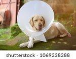 labrador dog sleeping with... | Shutterstock . vector #1069238288