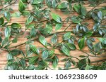 fresh green vine with many... | Shutterstock . vector #1069238609