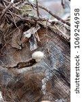 Pholiota Heteroclita Mushroom...