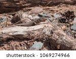 closeup of little lizard on...   Shutterstock . vector #1069274966