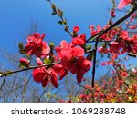 Red Tree Blossoms Against Blue...