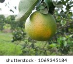 orange citrus infected with hlb ... | Shutterstock . vector #1069345184