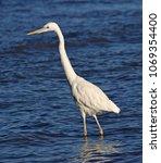 a great egret  ardea alba ... | Shutterstock . vector #1069354400