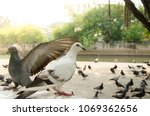 white and gray pigeons stand... | Shutterstock . vector #1069362656