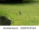 the asian freshwater bird that... | Shutterstock . vector #1069419164