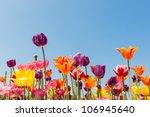 Amazing Multicolored Tulips...