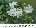 solanum flower in the garden | Shutterstock . vector #1069489313