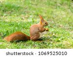 Rufous Squirrel Descended From...