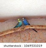 two cute wavy parrots | Shutterstock . vector #1069531019