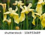 Yellow Iris Flowers In The Rai...