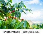 fresh arabica coffee bean on...   Shutterstock . vector #1069581233