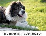fluffy caucasian shepherd dog... | Shutterstock . vector #1069582529