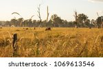 cows grazing on a cattle farm... | Shutterstock . vector #1069613546