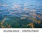 aquatic plant in blue lake   Shutterstock . vector #1069615664