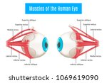 eye anatomy 3d diagram... | Shutterstock .eps vector #1069619090