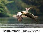 a spot billed pelican flying...   Shutterstock . vector #1069619990