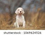 cute puppy sitting outdoor.... | Shutterstock . vector #1069624526