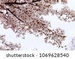 blooming cherry tree branch | Shutterstock . vector #1069628540