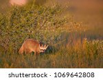 close up bat eared fox  otocyon ... | Shutterstock . vector #1069642808