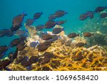 Small photo of Large school of Acanthurus coeruleus swimming in a reef