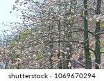 natural kapok trees  ceiba... | Shutterstock . vector #1069670294