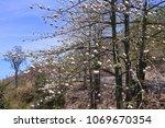 natural kapok trees  ceiba... | Shutterstock . vector #1069670354