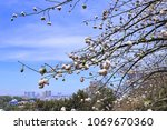 natural kapok trees  ceiba... | Shutterstock . vector #1069670360