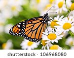 Colorful Monarch Butterfly...
