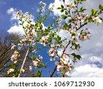 tree blooming in spring | Shutterstock . vector #1069712930