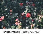 red pink roses | Shutterstock . vector #1069720760