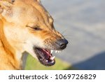 close up dog angry  aggressive | Shutterstock . vector #1069726829