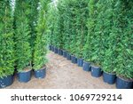 many green hedge of thuja trees ... | Shutterstock . vector #1069729214