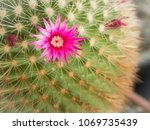 The Pink Cactus Flower Bloomin...